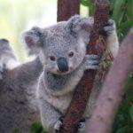 Koala alt text