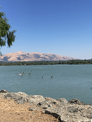 Pelicans on Lake Elizabeth with Freemont's golden hills in the distance