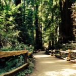 Picture of fence-lined trail through redwoods at Muir Woods