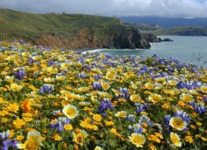 Purple and yellow wildflowers blooming with the California coast visible behind them